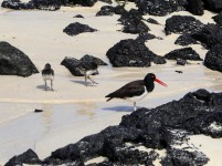 American Oyster Catcher and Chicks